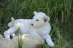 Weinig Lion Cubs Royalty-vrije Stock Foto