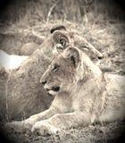 Weinig Lion Cubs Royalty-vrije Stock Afbeelding