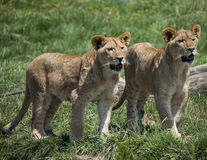 Weinig Lion Cubs Royalty-vrije Stock Foto's