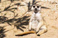Weinig meerkat zit comfortabel op het zand royalty-vrije stock afbeeldingen