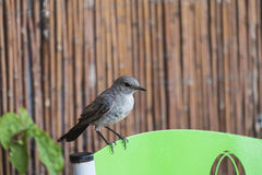Weinig melanura van vogelblackstart Cercomela Royalty-vrije Stock Foto's