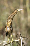 Weinig moederloog/minutus Ixobrychus Stock Afbeeldingen