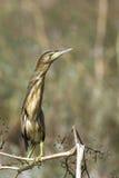 Weinig moederloog/minutus Ixobrychus royalty-vrije stock afbeeldingen