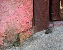 Weinig muis bij de deur stock foto