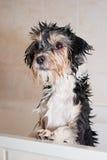 Weinig natte boomerhond in de badkuip Stock Foto's