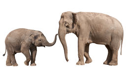 Weinig olifantskalf met zijn moeder Royalty-vrije Stock Fotografie