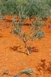 Weinig olijfboom Royalty-vrije Stock Foto's