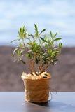 Weinig olijfboom in een pot Royalty-vrije Stock Foto
