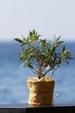 Weinig olijfboom in een pot Stock Afbeeldingen