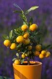 Weinig oranje boom Stock Foto