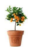 Weinig oranje boom die in de bloempot van Italië wordt geïsoleerd royalty-vrije stock afbeeldingen