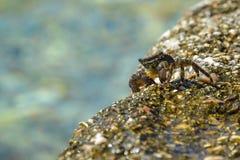 Weinig overzeese krab op een rots dichtbij het water Stock Fotografie