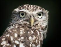 Weinig Owl Portrait Royalty-vrije Stock Foto