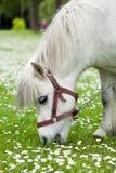 Weinig paard op een weide Stock Fotografie