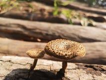 weinig paddestoel aan het hout is droog maar nog stock afbeelding