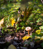 Weinig paddestoel het groeien in bos Royalty-vrije Stock Afbeeldingen