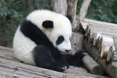 Weinig Panda Cub is uit Koelend, China royalty-vrije stock afbeeldingen