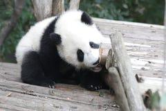 Weinig Panda Cub is uit Koelend, China stock foto's