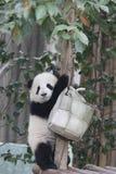 Weinig Panda Cub is uit Koelend, China royalty-vrije stock foto