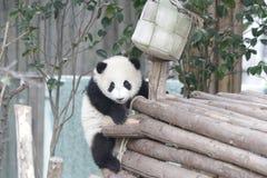 Weinig Panda Cub is uit Koelend, China stock foto