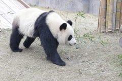 Weinig Panda Cub is uit Koelend, China stock afbeelding