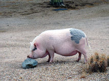 Weinig Piggy Royalty-vrije Stock Foto's