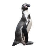 Weinig pinguïn Stock Fotografie
