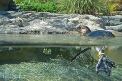 Weinig Pinguïn boven en onder het water stock foto