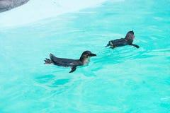 Weinig pinguïn die in gevangenschap zwemmen royalty-vrije stock foto