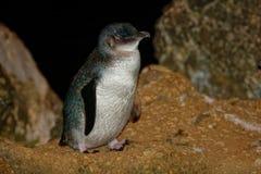 Weinig Pinguïn - Eudyptula-minderjarige - in maori korora, het nachtelijke terugkeren naar de kust aan voerkuikens in nesten, Oam Royalty-vrije Stock Fotografie