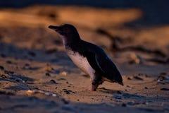 Weinig Pinguïn - Eudyptula-minderjarige - in maori korora, het nachtelijke terugkeren naar de kust aan voerkuikens in nesten, Oam Stock Afbeelding