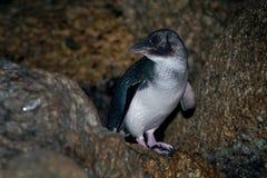 Weinig Pinguïn - Eudyptula-minderjarige - in maori korora, het nachtelijke terugkeren naar de kust aan voerkuikens in nesten, Oam Stock Foto's