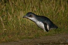 Weinig Pinguïn - Eudyptula-minderjarige - in maori korora, het nachtelijke terugkeren naar de kust aan voerkuikens in nesten, Oam Stock Fotografie