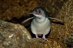 Weinig Pinguïn - Eudyptula-minderjarige - in maori korora, het nachtelijke terugkeren naar de kust aan voerkuikens in nesten, Oam Stock Foto