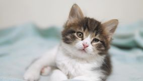 Weinig pluizig leuk grappig katjesportret binnen leuk een klein katje het concept van de de kattenlevensstijl van het katjeshuisd stock video