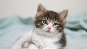 Weinig pluizig leuk grappig katjesportret binnen leuk een klein katje het concept van de de levensstijlkat van het katjeshuisdier stock videobeelden