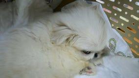 Weinig pluizig Pekinges-puppy zit in een huisdierendrager stock video