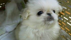 Weinig pluizig Pekinges-puppy zit in een huisdierendrager stock videobeelden