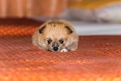 Weinig pluizig Pomeranian-puppy Royalty-vrije Stock Foto
