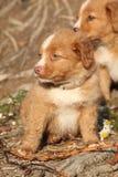 Weinig profiel van de rivierhond Stock Fotografie