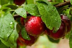 Weinig pruimen op de tak in de tuin Stock Fotografie