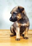 Weinig puppy Royalty-vrije Stock Afbeeldingen