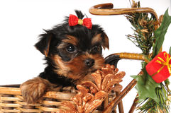 Weinig puppy bij de doos van Kerstmis Royalty-vrije Stock Fotografie
