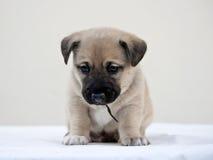 Weinig puppy die de camera benieuwd zijn Stock Afbeeldingen