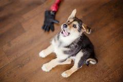 Weinig puppy die een domoor houden Stock Foto's