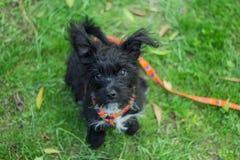 Weinig puppy het staren Stock Foto's
