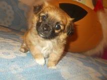 Weinig puppy-meisje, zij zeer weinig van grootte en zo funy! stock fotografie