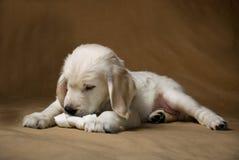 Weinig puppy met been Royalty-vrije Stock Afbeeldingen