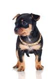Weinig puppy met een gouden kraag royalty-vrije stock foto's