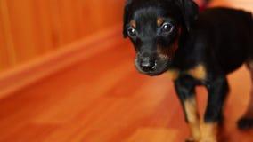 Weinig puppy is onhandig en wankel Leuk weinig hondras Doberman stock videobeelden